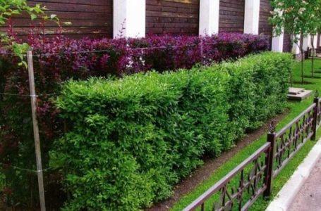 Живая изгородь – экологичный декор забора, доступный каждому
